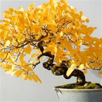 Deciduous Bonsai Tree Workshop Online Daily Herald Calendar