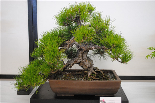 Akebono Bonsai Club Exhibition Palo Alto Events